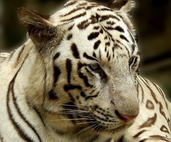 White Tiger by bhavya