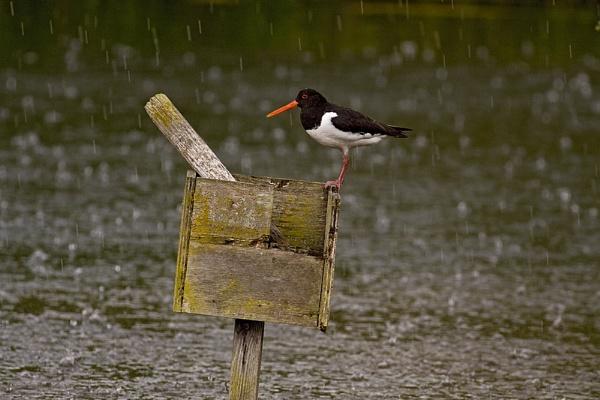 Oystercatcher in a heavy rain by hibbz