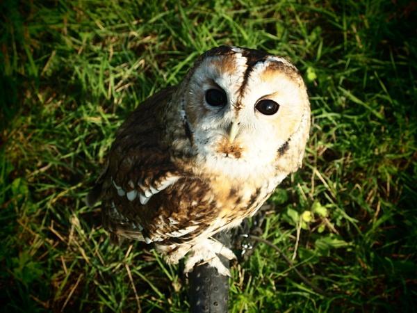 tawny owl by rosie1234