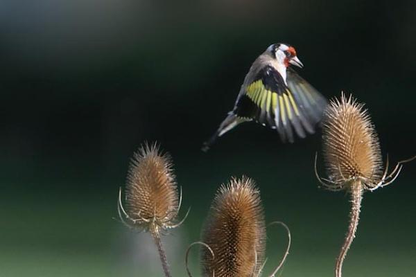 Goldfinch by Hailstone
