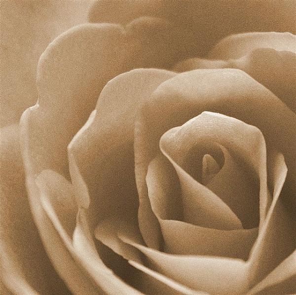 La Rosa by sybilla