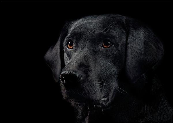 A portrait of a labrador by deavilin