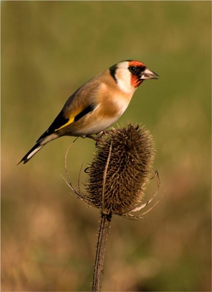 Goldfinch Feeding by wharmby