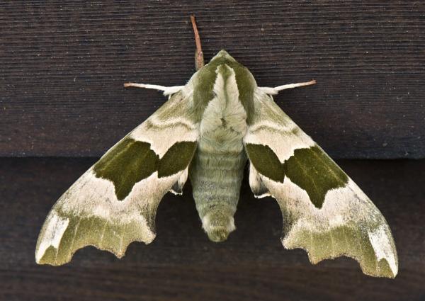 Lime Hawk-moth. L = Mimas tiliae by AndyMurdo