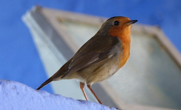 Robin posing in the height of summer at Portmeirion by Cavolfiore
