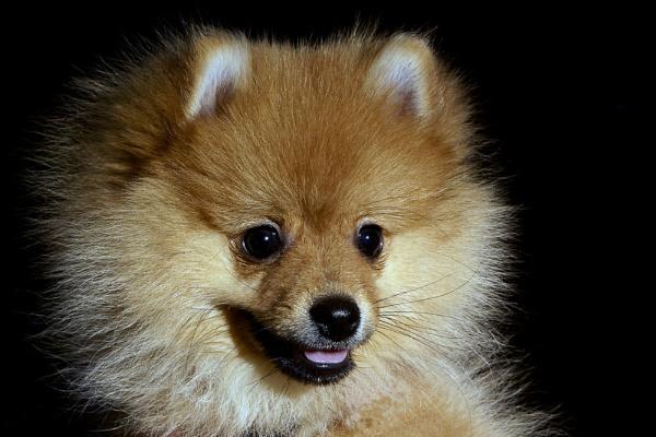 Pom Puppy by DJLeroy