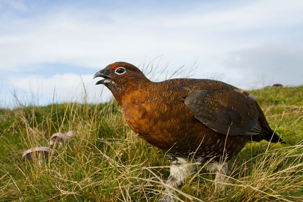 Red Grouse by GrahamDixon