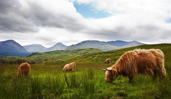 Highland cattle by GrahamDixon