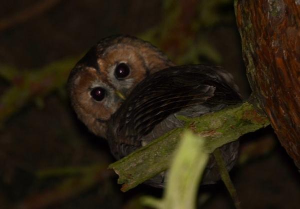Tawny Owl by JoshReptiles
