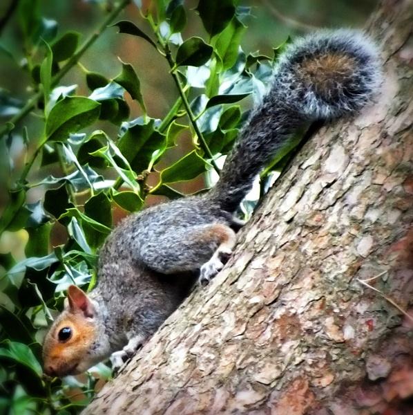 A Suffolk Squirrel by sedonamoonshine