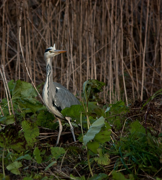 Heron by moiral