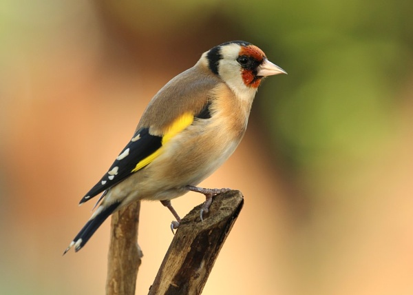 Goldfinch by Samuel_Aron