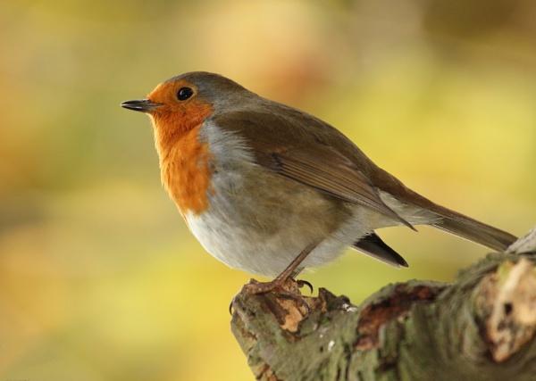 Autumnal Robin 2 by Samuel_Aron