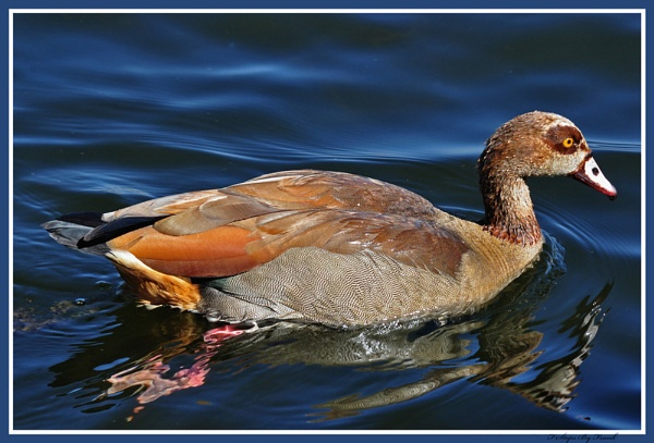 egyptian goose by fatfranksfolley