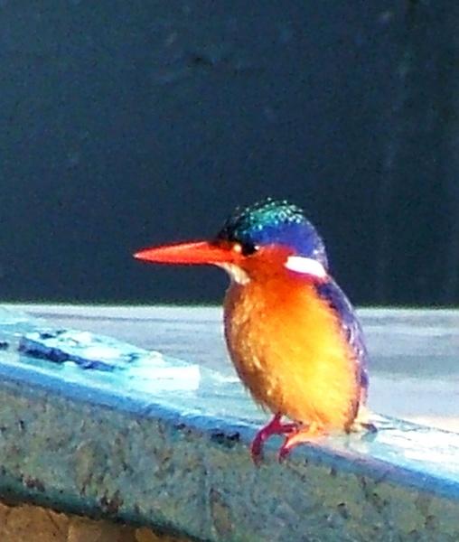Kenyan Kingfisher by JuBarney