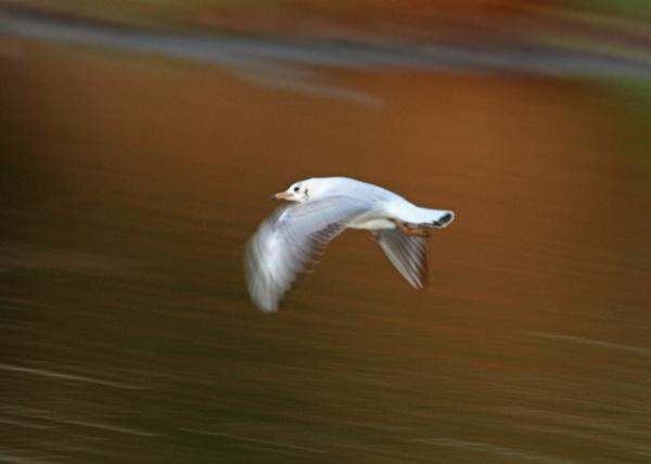 Black-headed Gull in flight by czech