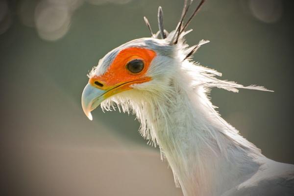 secretary bird by pgee