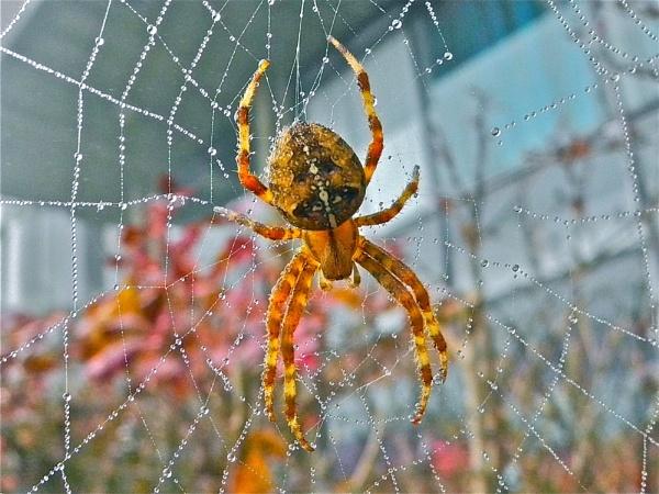 Large Garden Spider by Kentoony