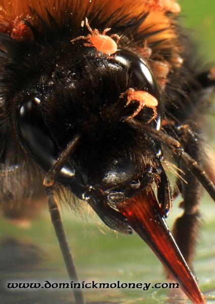 tics on bumble bee by irishdomo1