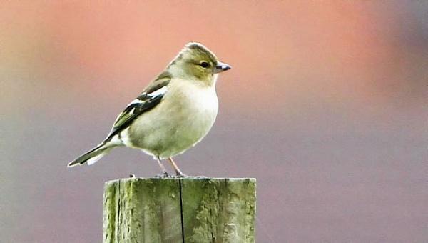 Female Chaffinch by Hailstone