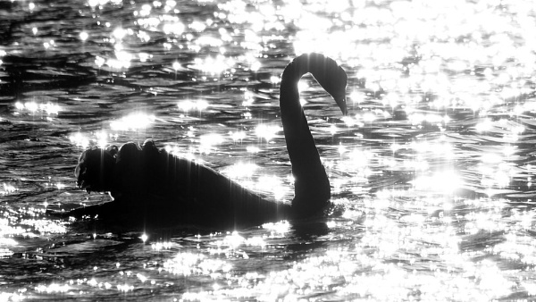 Black Swan by nathanwebster