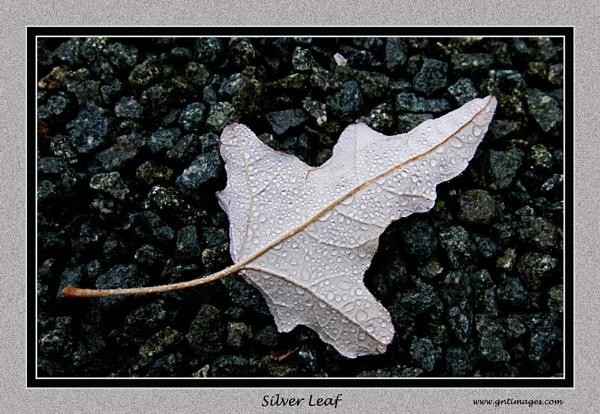 Silver Leaf by GlynnisFrith