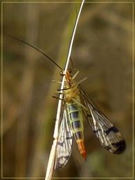 shy scorpionfly