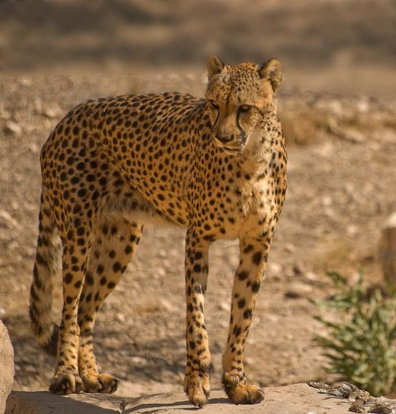 Cheetah by franken