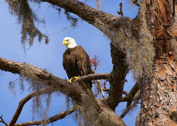 eagle by wsteffey