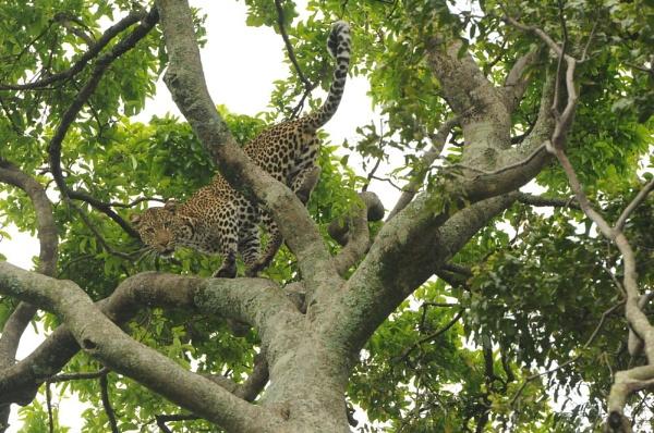 Leopard in Tree by HP1485