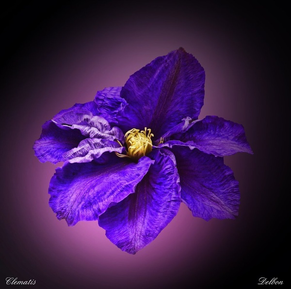 Clematis by Delbon