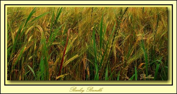 Barley Bundle by Delbon