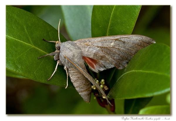 Poplar Hawk-moth (Laothoe populi) by teocali
