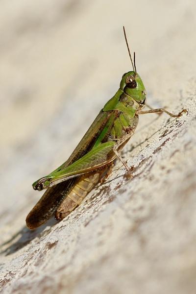 Grasshopper by DanZed69