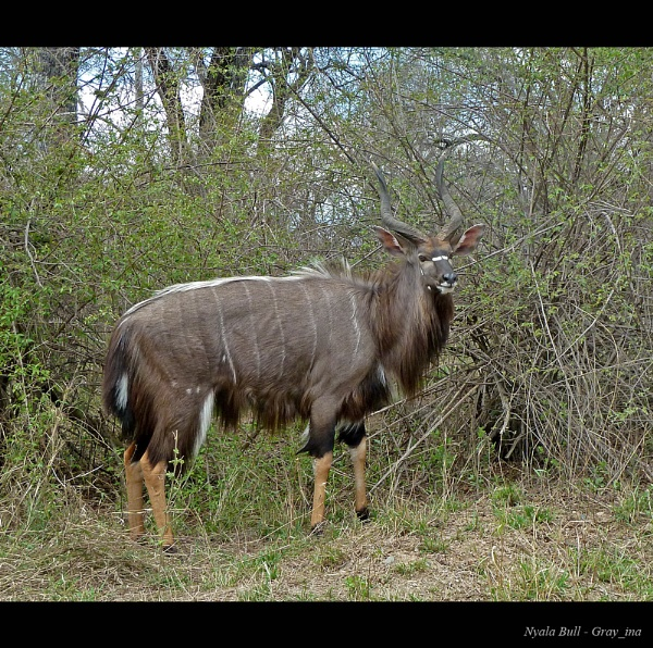 Nyala Bull by Gray_ina