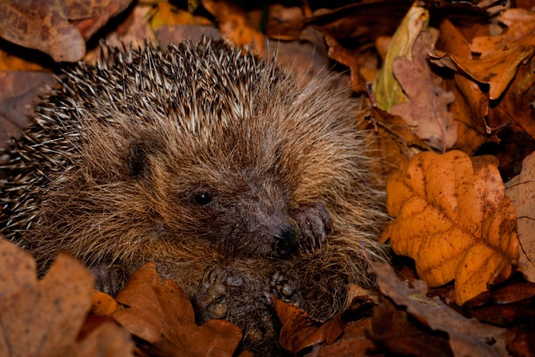 Hedgehog by mikepearce