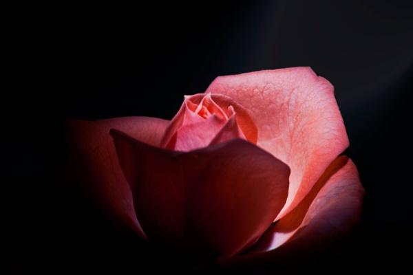 Rose by HuntedDragon