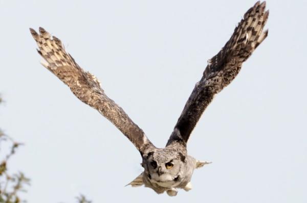 owl by bertty