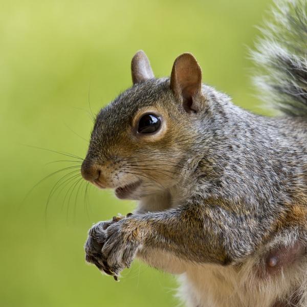 Grey Squirrel by GrahamDixon
