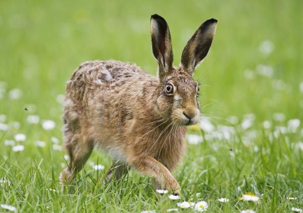 Brown Hare by GrahamDixon