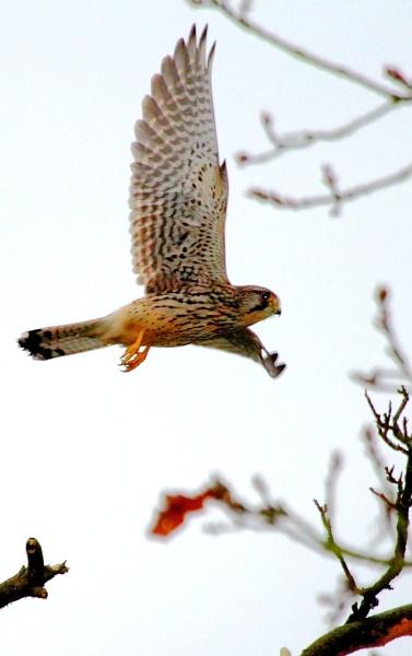 prowling kestrel by gingerbenno