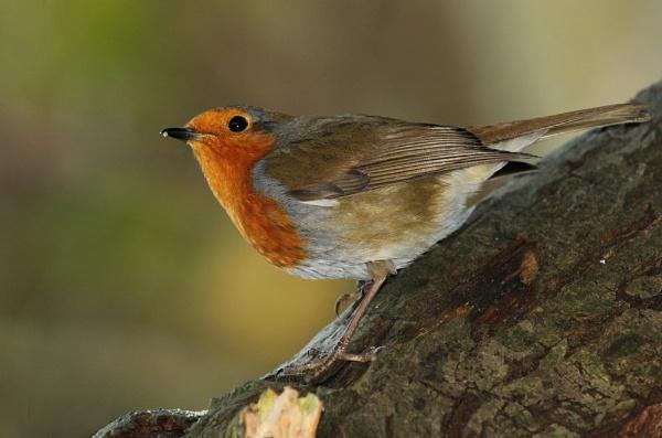 Robin by Samuel_Aron