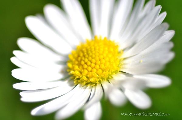 Daisy by MTFernandes