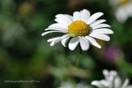 Daisy Too !!!!