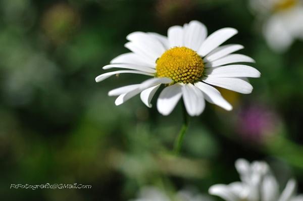 Daisy Too !!!! by MTFernandes