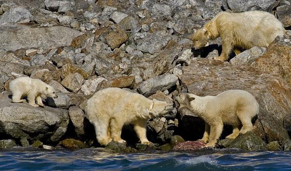 Polar bears by hibbz