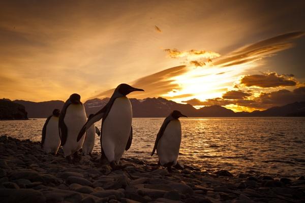 Penguins at Sunrise by SamCrimmin