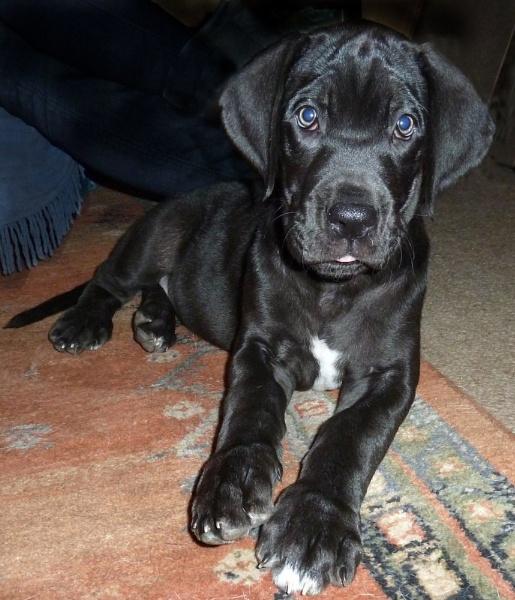 Great Dane pup by JuBarney