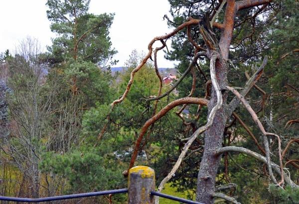 The old pine. by kuvailija