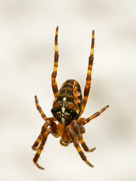 Garden Spider by bobrolybbb